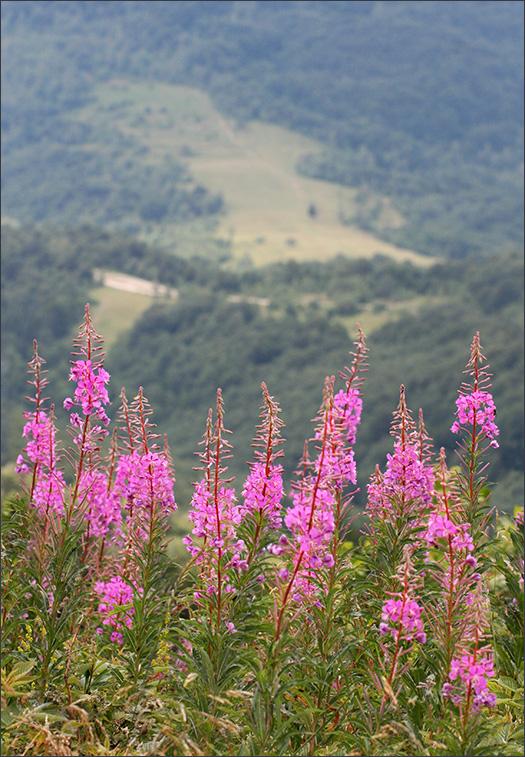 http://www.naturalist.uzhgorod.ua/img/chamerion-angustifolium.jpg