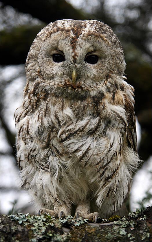 серая сова скачать торрент - фото 3